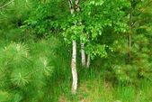 Bosque del resorte — Foto de Stock