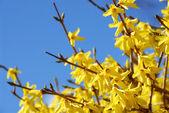 Forsizia fioritura primaverile — Foto Stock