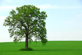 Single tree summer — Stock Photo