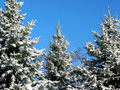Winter fir trees under snow 1 — Stok fotoğraf