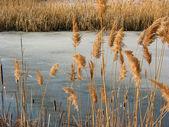 Reeds winter pond — Stock Photo