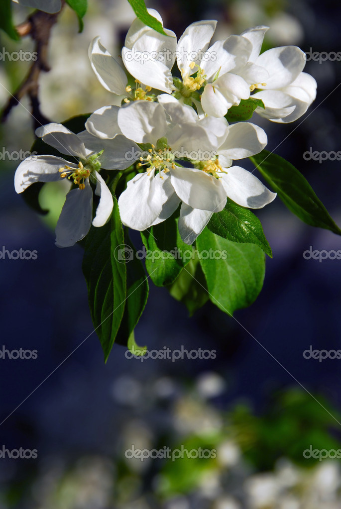 Branch of a blooming apple tree baskign in sunlight — Stock Photo #7085452