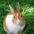 Bunny rabbit - Stock Photo