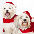 Two cute dogs in santa outfits — Stockfoto