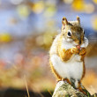 Cute red squirrel eating nut — Stock Photo