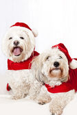Two cute dogs in santa outfits — Stock Photo