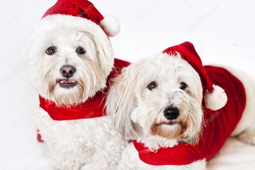 Due cani carini in abiti di santa foto stock for Piani domestici carini
