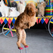 Stock Photo: Red poodle standing
