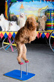 Red poodle standing — Stock Photo