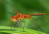 Skimmer dragonfly — Stock Photo