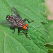 Stock Photo: Flesh fly