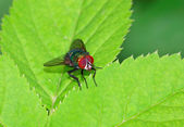 Blow fly on a leaf — Stock Photo