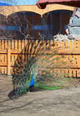 Peacock with flared out tail — Stock Photo