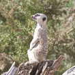 Meerkat sat at top on lookout — Stock Photo #6884170