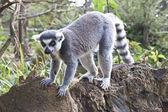 Lemur exploring along a branch — Stock Photo