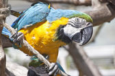 Macaw sitting on a branch — Stock Photo