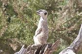 Meerkat zat boven op zoek — Stockfoto