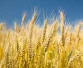 Ripe wheat on a blue sky — Stock Photo