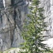 Stock Photo: Larch before rock wall