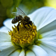 Stock Photo: Dahlia-honeybee