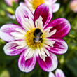 Stock Photo: Dahlia-pink-bee