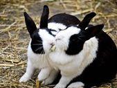 Rabbits-fighting — Foto de Stock