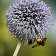 Bee-garden leek — Stock Photo
