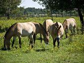 Przewalski-horses-pasture — Stock Photo