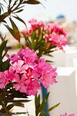 Pink flowers in Perissa, Santorini, Greece — Stock Photo