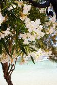 Beautiful white flowers in Kefalonia — Stock Photo