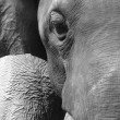 Animal elephant face — Stock Photo