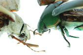 Two scarab beetle — Stock Photo