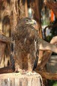 Eagle bird — Stock Photo