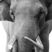 голова животного слон — Стоковое фото