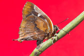 Butterfly on red background — Fotografia Stock