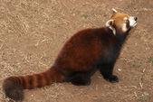 Lesser panda — Stock Photo