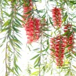 Red bottle brush tree - Stock Photo