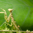 Flower praying mantis — Stock Photo