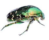 Green beetle insect — Stock Photo
