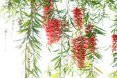 Red bottle brush tree — Stock Photo