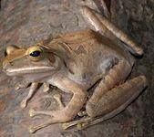 Drzewa żaba — Zdjęcie stockowe