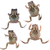 Animal toad frog — Stock Photo