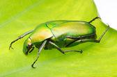 Green flower beetle — Stock Photo
