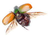Flying insect scarab beetle — Stock Photo