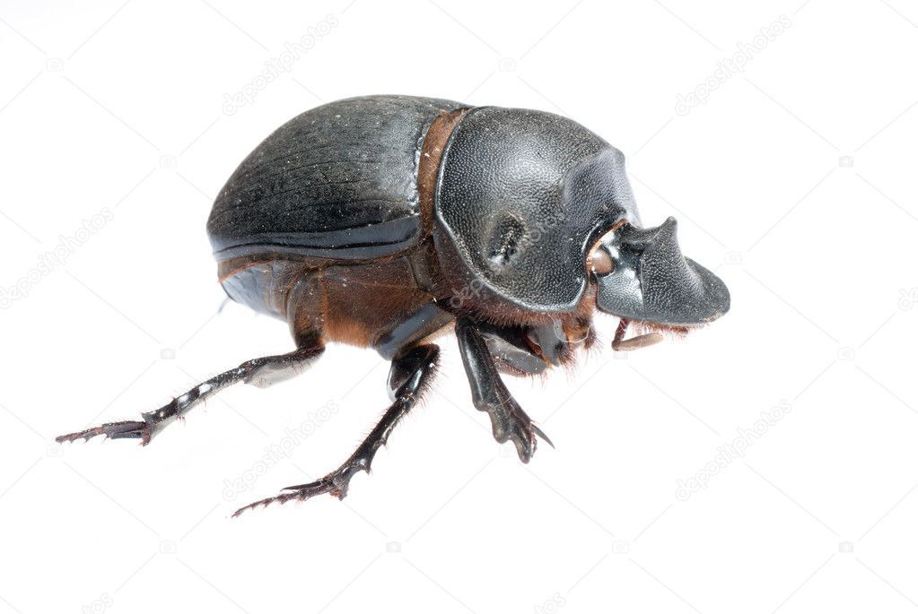 Insect dung beetle isolated on white — Stock Photo #6923233