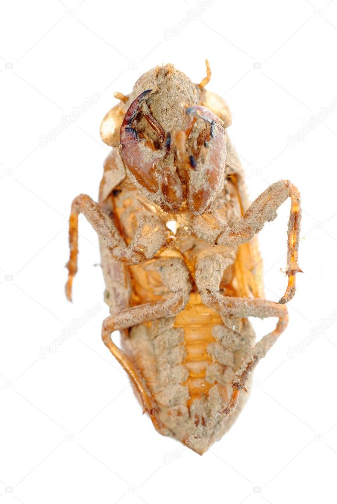 Traditional Chinese medicine insect cicada molt  Stock Photo #6923770