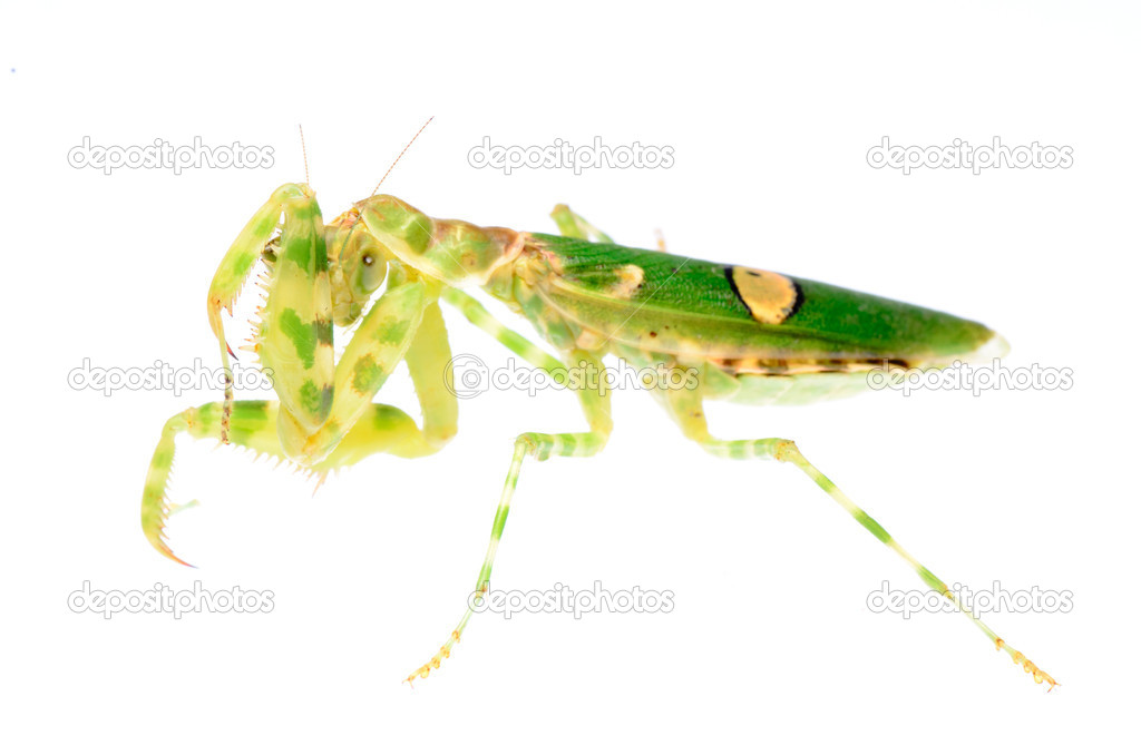 Female green flower praying mantis isolated  Stock Photo #6928164
