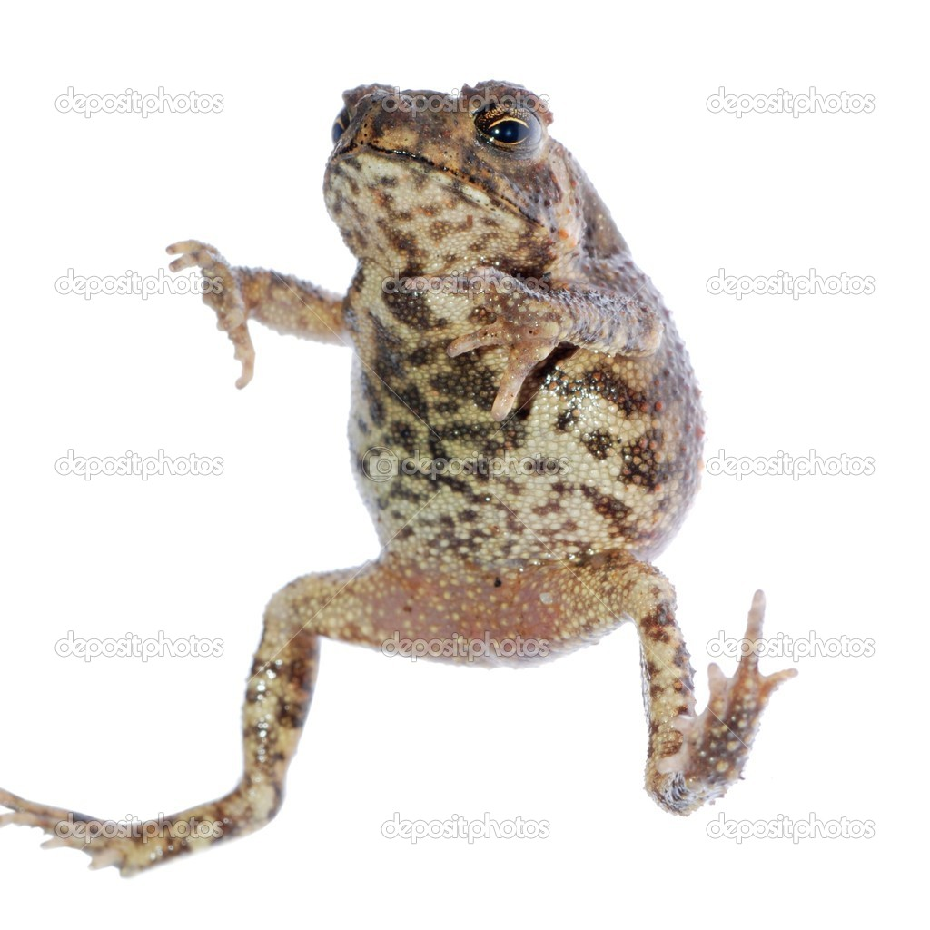 Animal toad frog jump isolated on white — Stock Photo #6928348