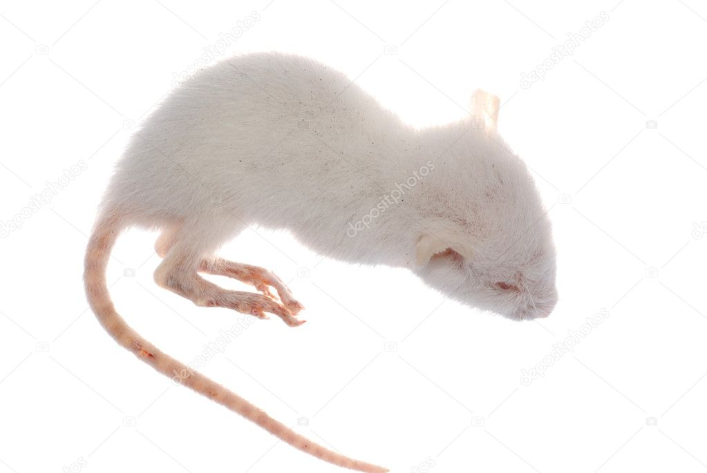 Science animal white rat mouse isolated — Stock Photo #6930246