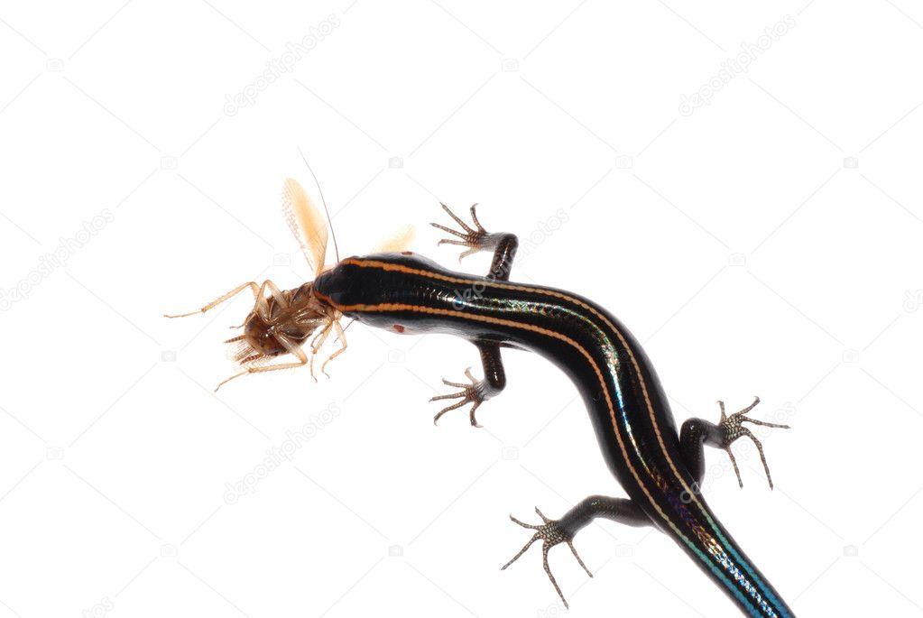 Lizards Eat Roaches Lizard Eat Roach Isolated on